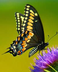 Black Swallowtail Butterfly Facts Anatomy Diet Habitat Black Swallowtail Butterfly Swallowtail Butterfly Black Swallowtail