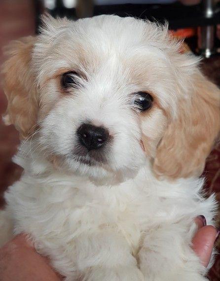 STUNNING F1 Cavachon puppy for sale Warrington, Cheshire