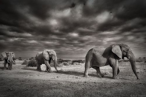 March Of The Elephants Elephant Beautiful Creatures Animals