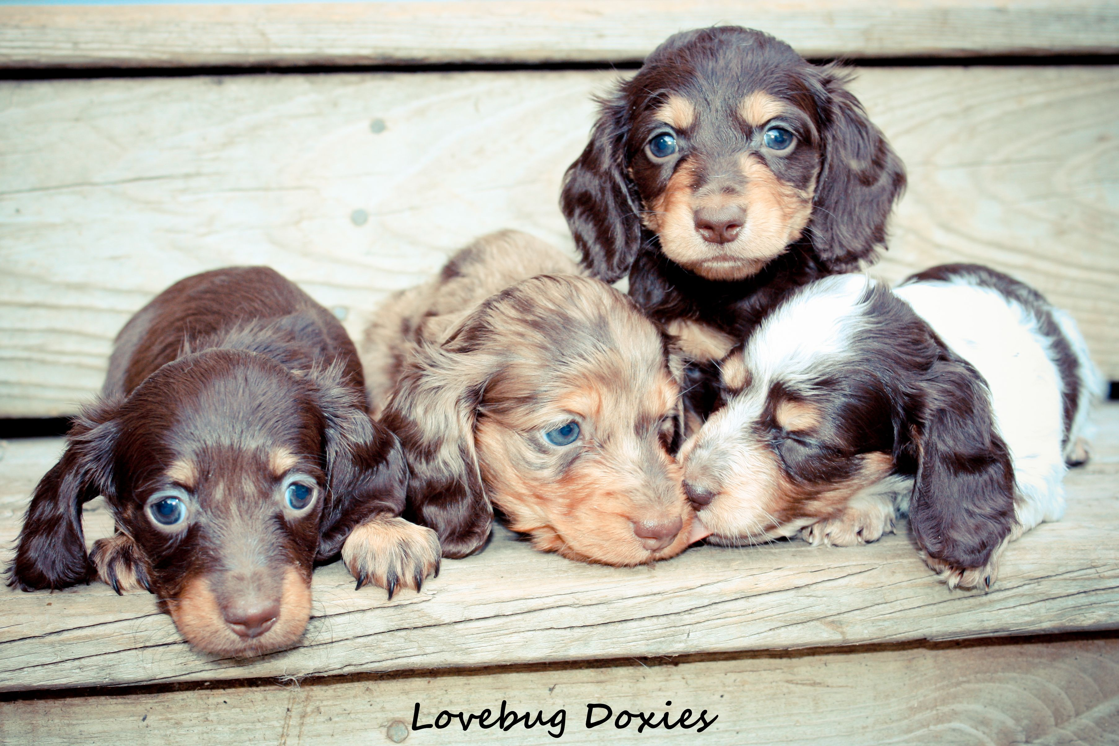 Local Rockford Michigan Dachshund Breeder With Available Doxie