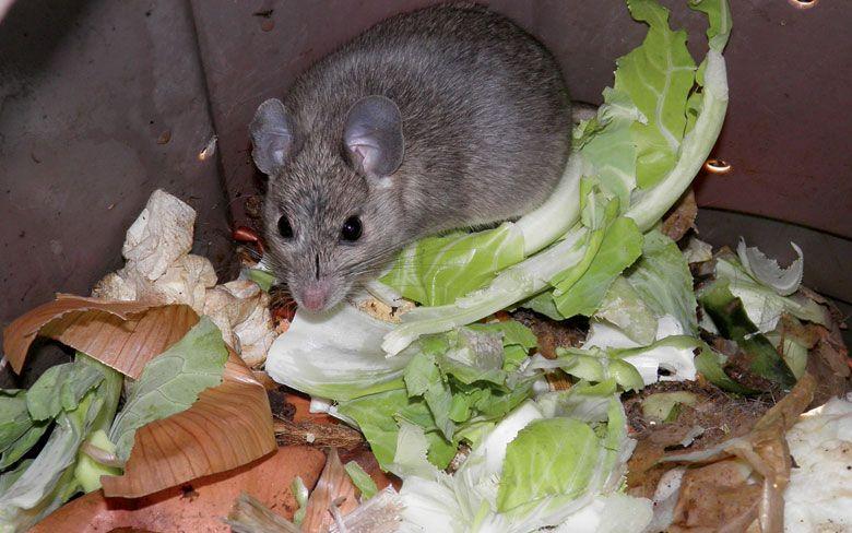 192b40ca34007eebbc7879d86c5b1854 - How To Get Rid Of Mice In Compost Bin