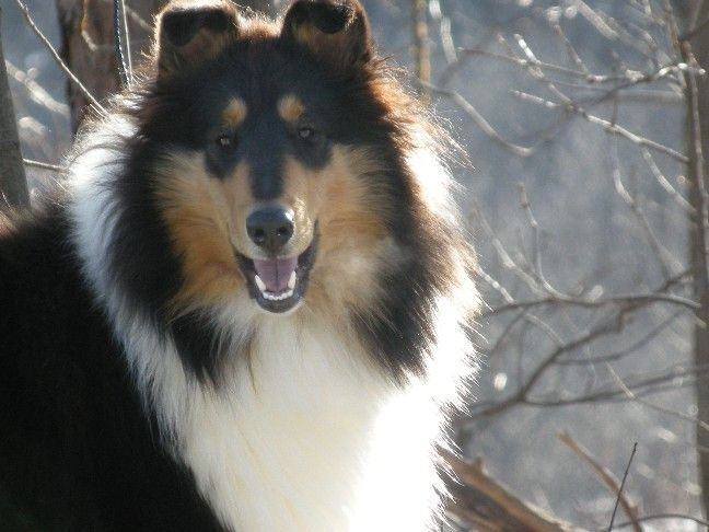 A Very Striking Tricolour Rough Collie So Many Years Later And I