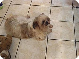 Shih Tzu Dog For Adoption In Akron Ohio Gruff Dog Adoption Shih Tzu Dog Kitten Adoption