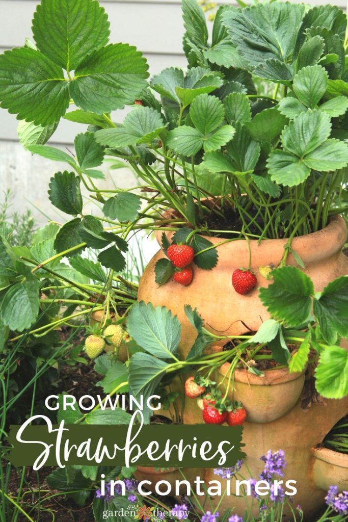 #growingstrawberriesincontainers