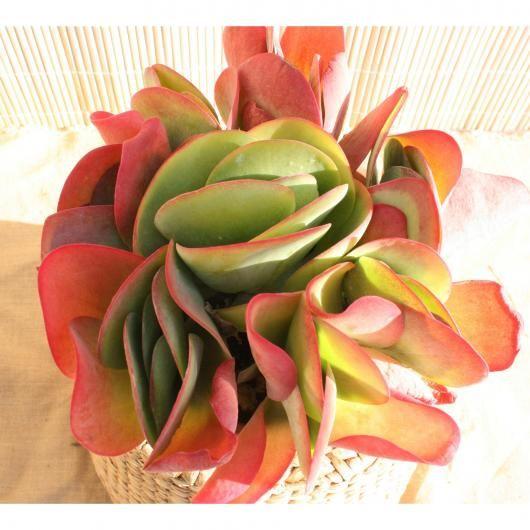 PLANETA HUERTO-Kalanchoe thyrsiflora plantas-flores secas - flores secas