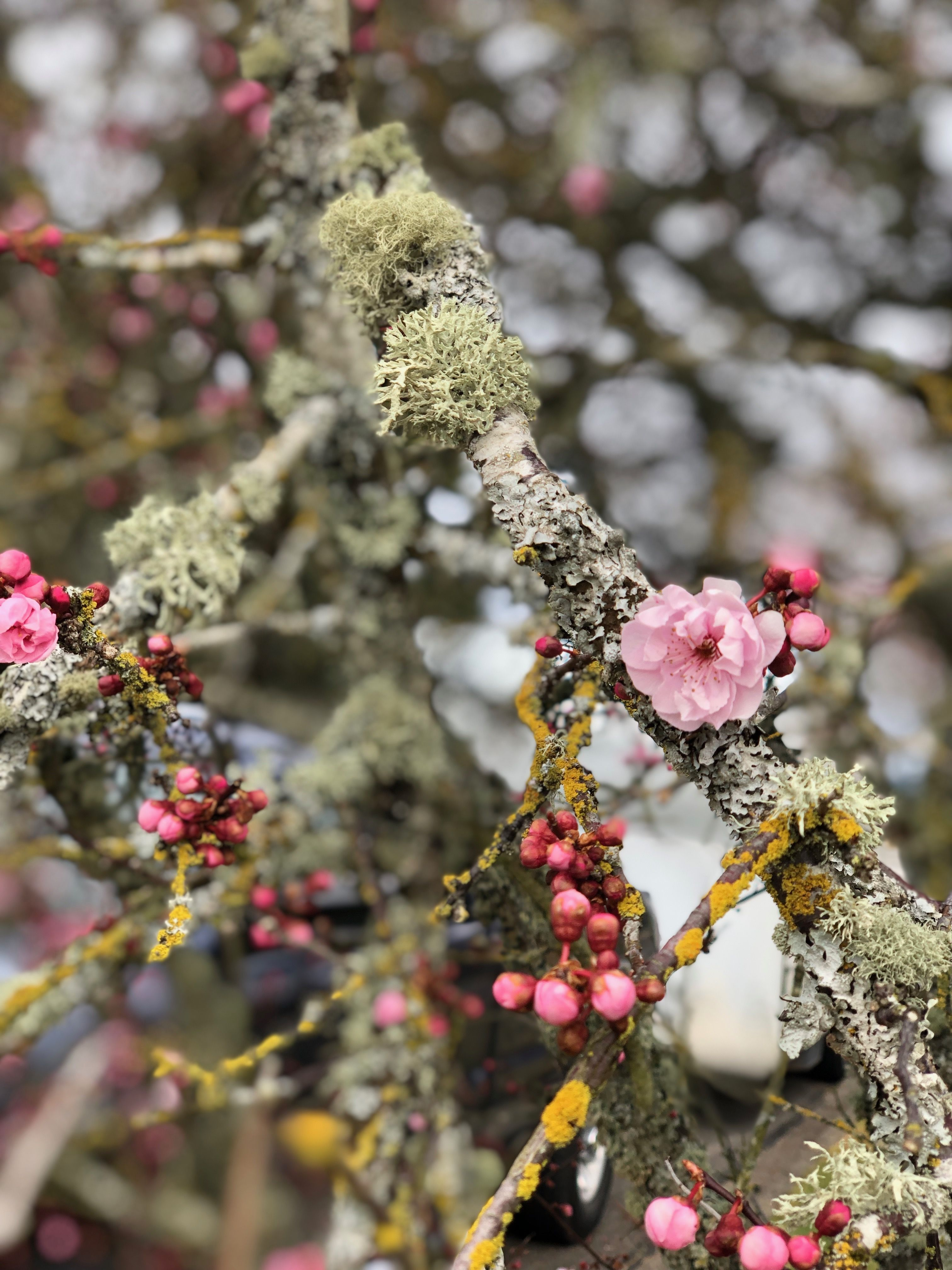 Cherry Blossom And Buds With Lichen Blossom Garden Theme Spring Flowers