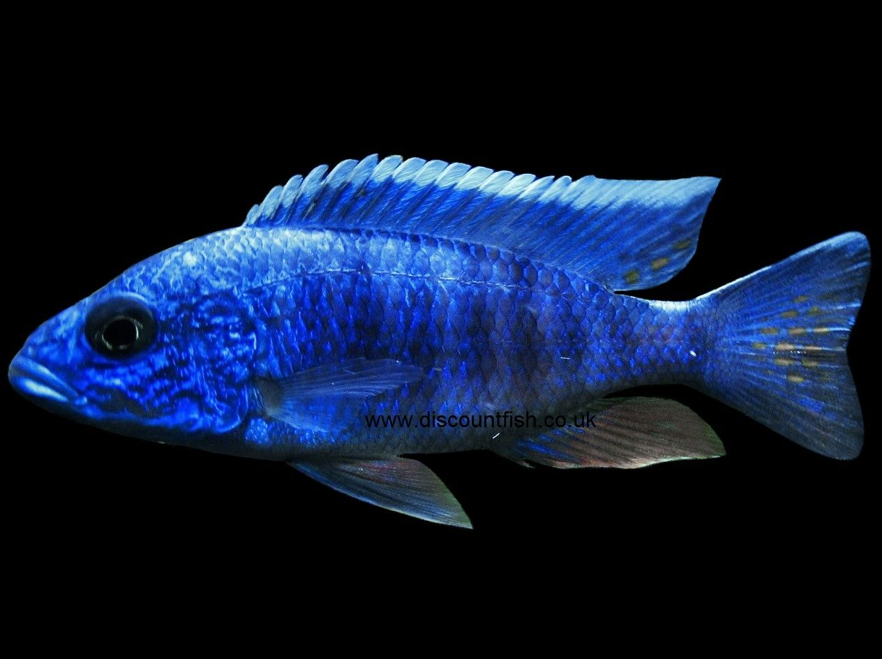 electric blue african cichlid-#17