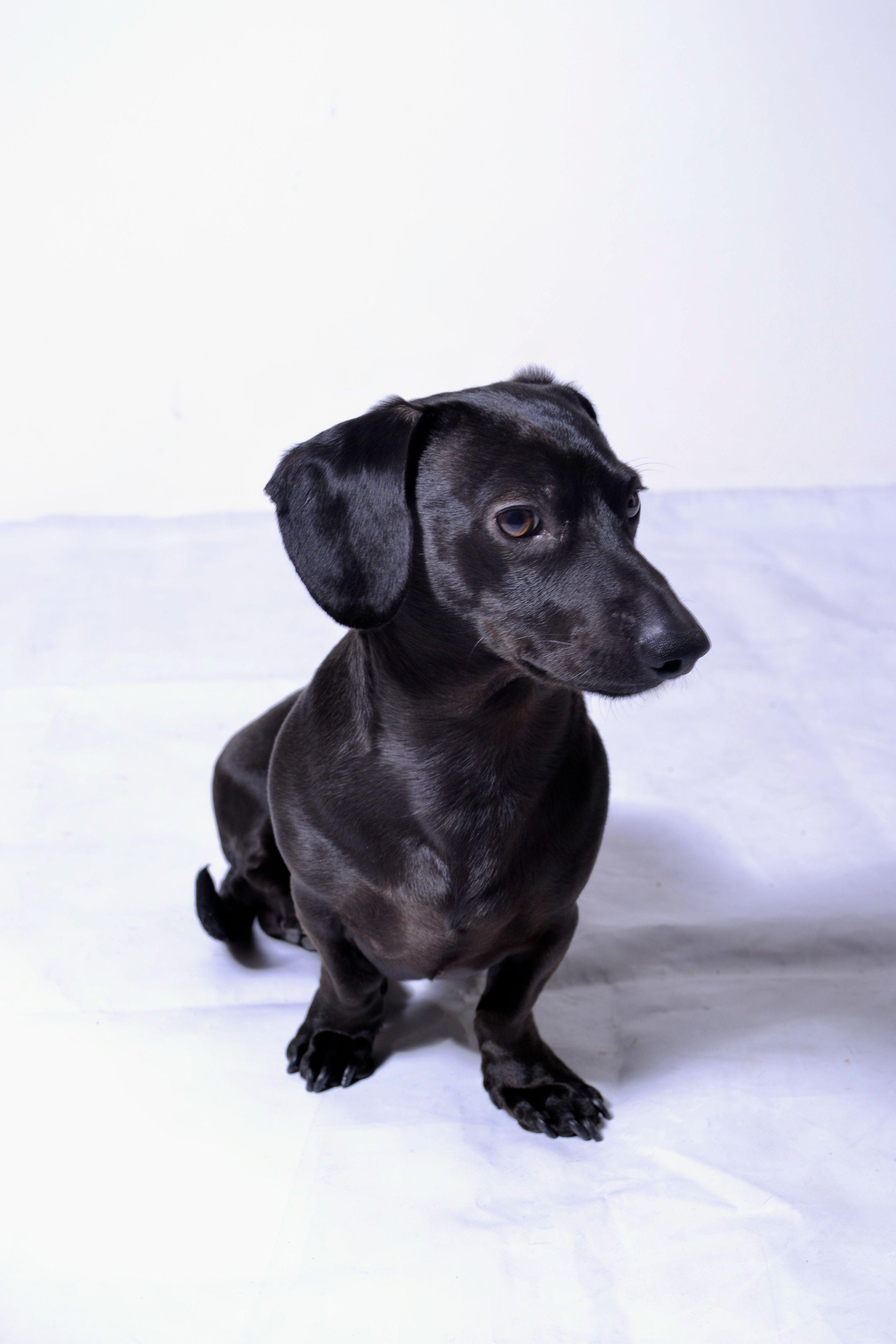 Looks Like My Schmoopy Black Dachshund Chiweenie Dogs