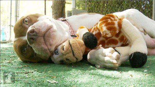 Pregnant Pit Bull Dumped at the Shelter Finds Hope and a Loving Home