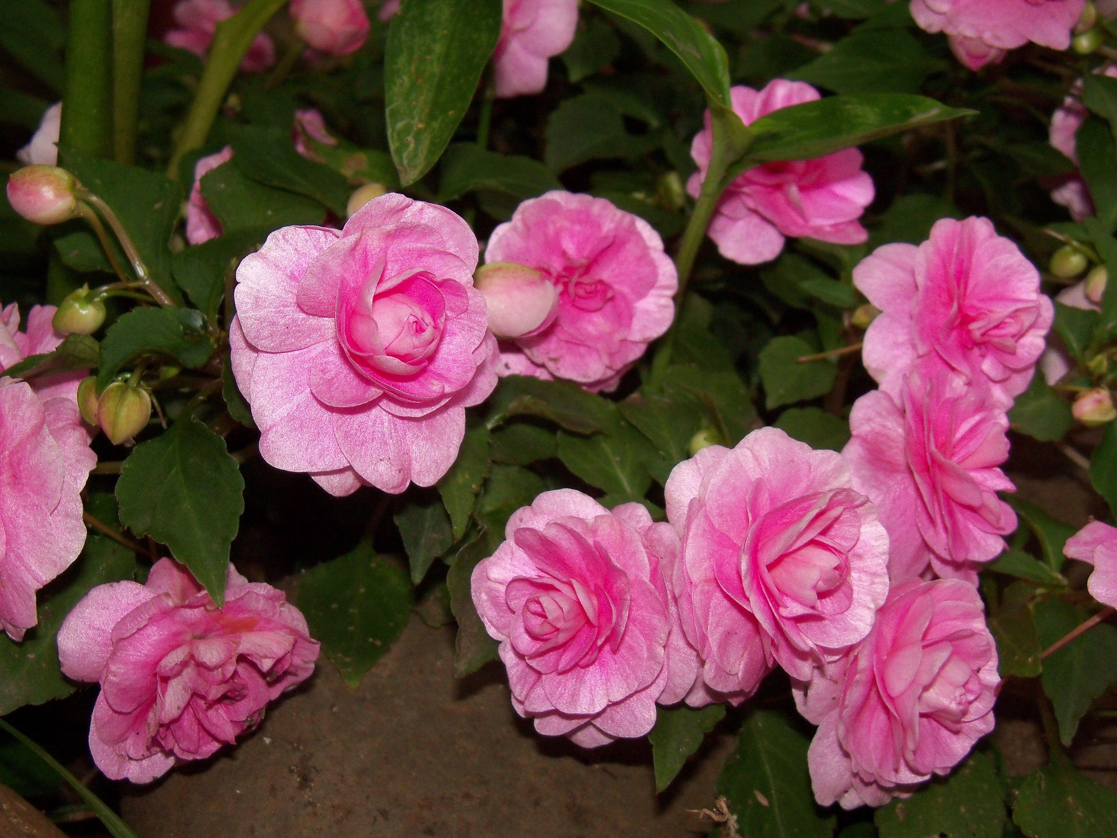 Alegr as del hogar doble plantas pinterest - Planta alegria del hogar ...