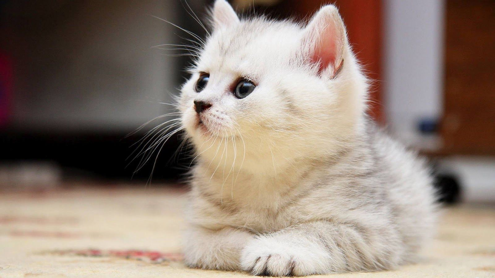 Cats HD Images Get Free top quality Cats HD Images for your