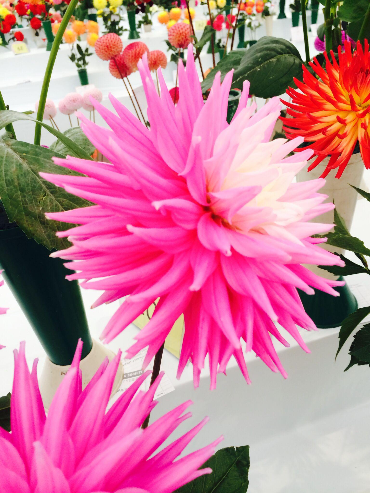 A Close Up Shot Of A Pink White Dahlia Harrogate Autumn Flower