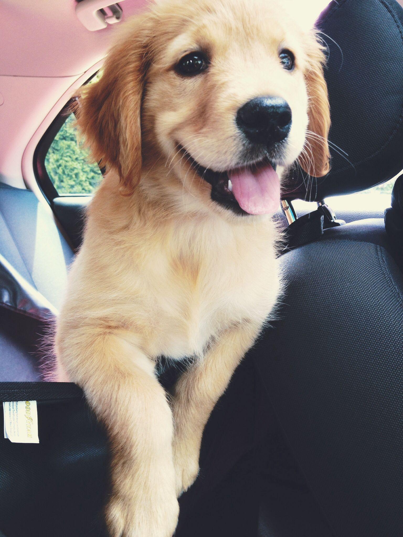 Golden Retriever Puppy Animales Y Mascotas Perros Mascotas