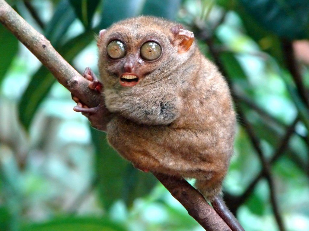 Bush baby Animals with Human Mouths # ...