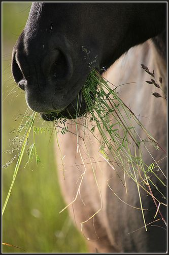 "Horse with a big bite of grass in his mouth. Such a cute nose. I want to pet it and say, ""good boy""."