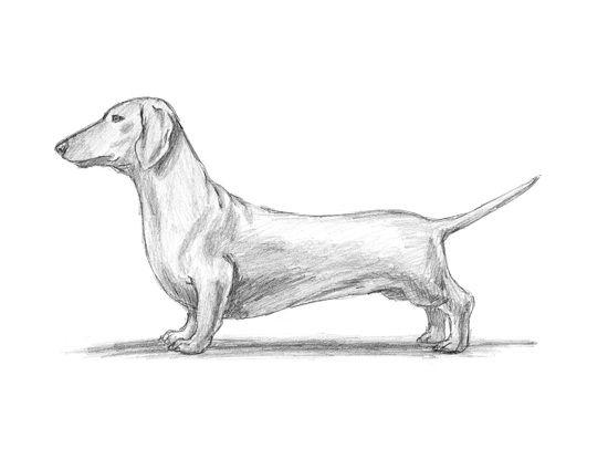 How To Draw A Dog Dachshund Dachshund Drawing Dog Drawing