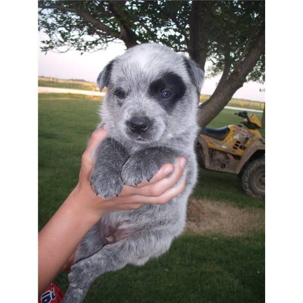 Male Blue Heeler 3093376060 A Cute Male Australian Cattle Dog Blue Heeler Puppy For Sale I Blue Heeler Australian Cattle Dog Blue Heeler Australian Cattle Dog
