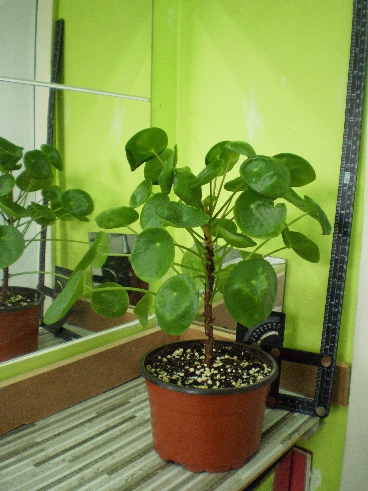 Sale Chinese Money Plant Pilea Peperomioides Rare