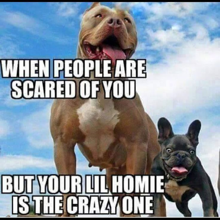 Pin By Michelle Morgan On French Bulldog Facts Funny Animal Memes Funny Dogs Funny Animals