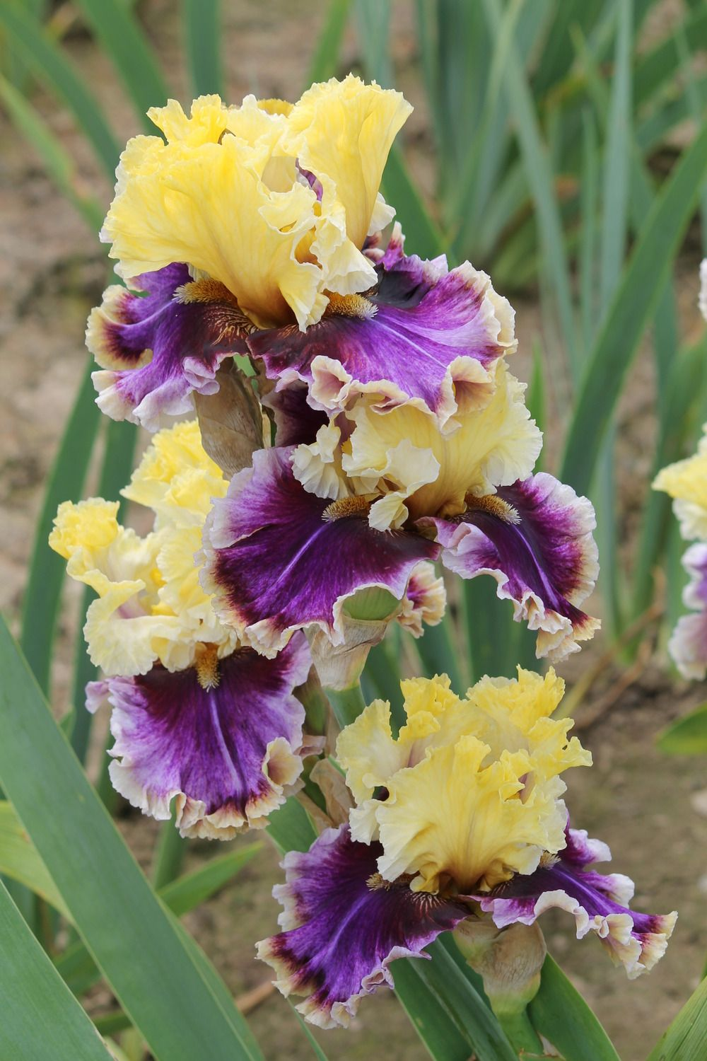 Iris carnival capers just iris pinterest iris carnival and photo of tall bearded iris iris carnival capers photo location schreiners gardens on izmirmasajfo Gallery