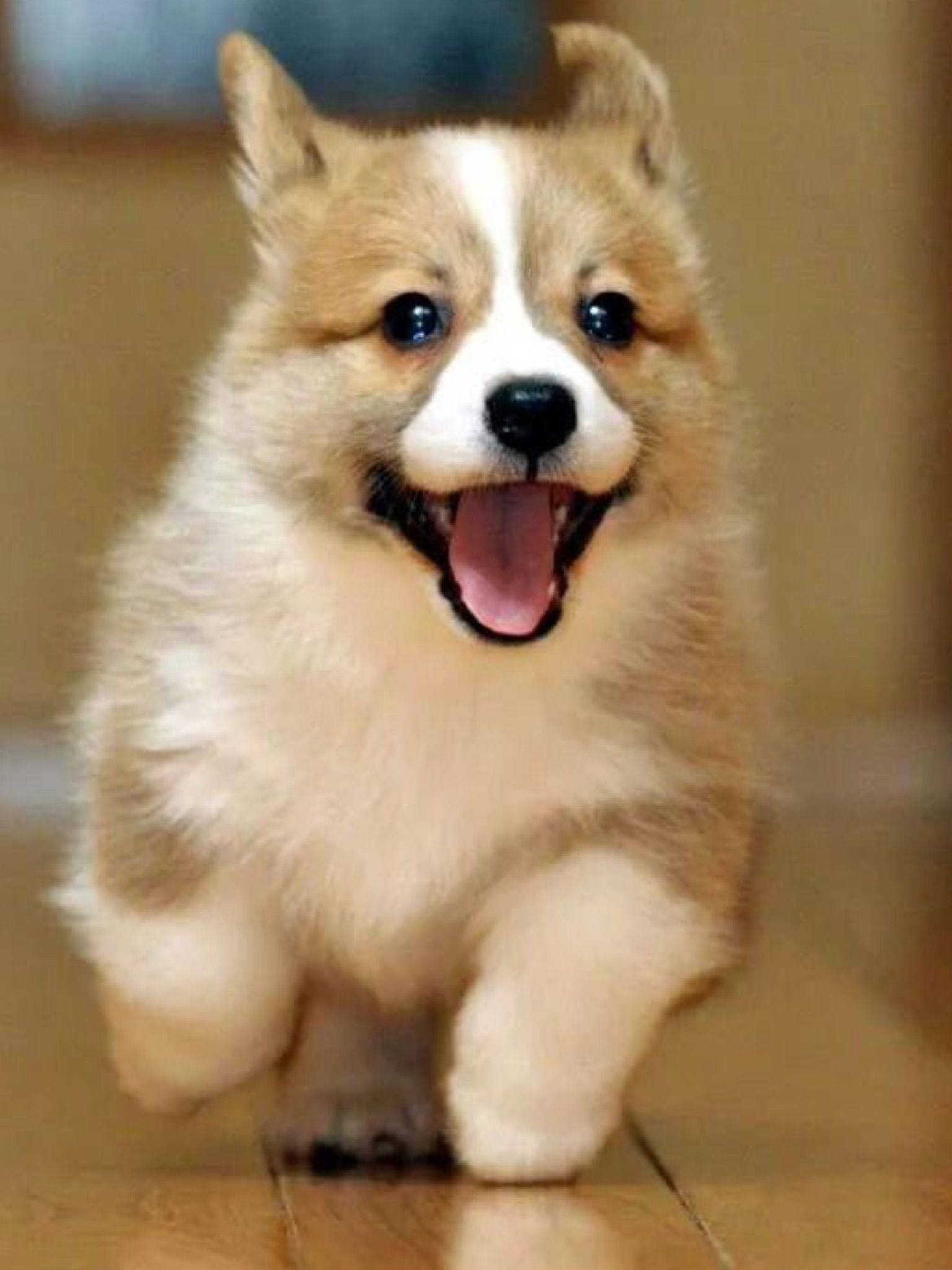 Quicky Corkie Puppies Cute Animals Pets