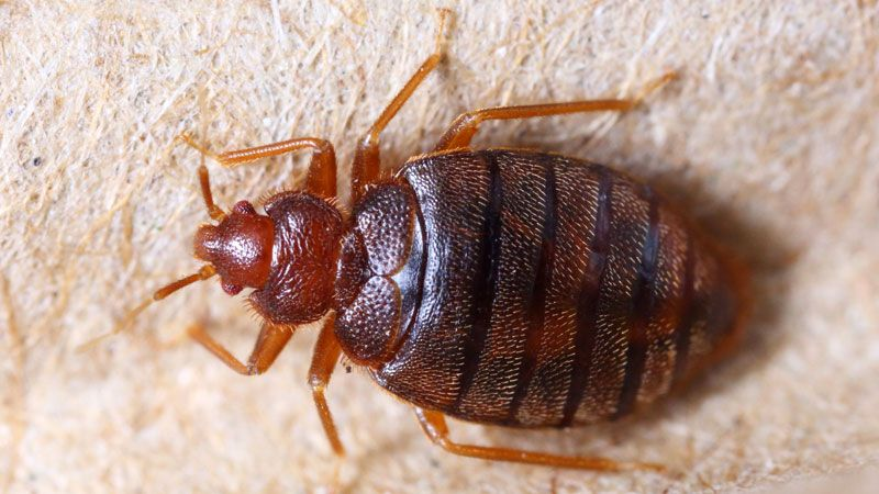 Does Rubbing Alcohol Kill Bed Bugs Here S The Real Truth Bed