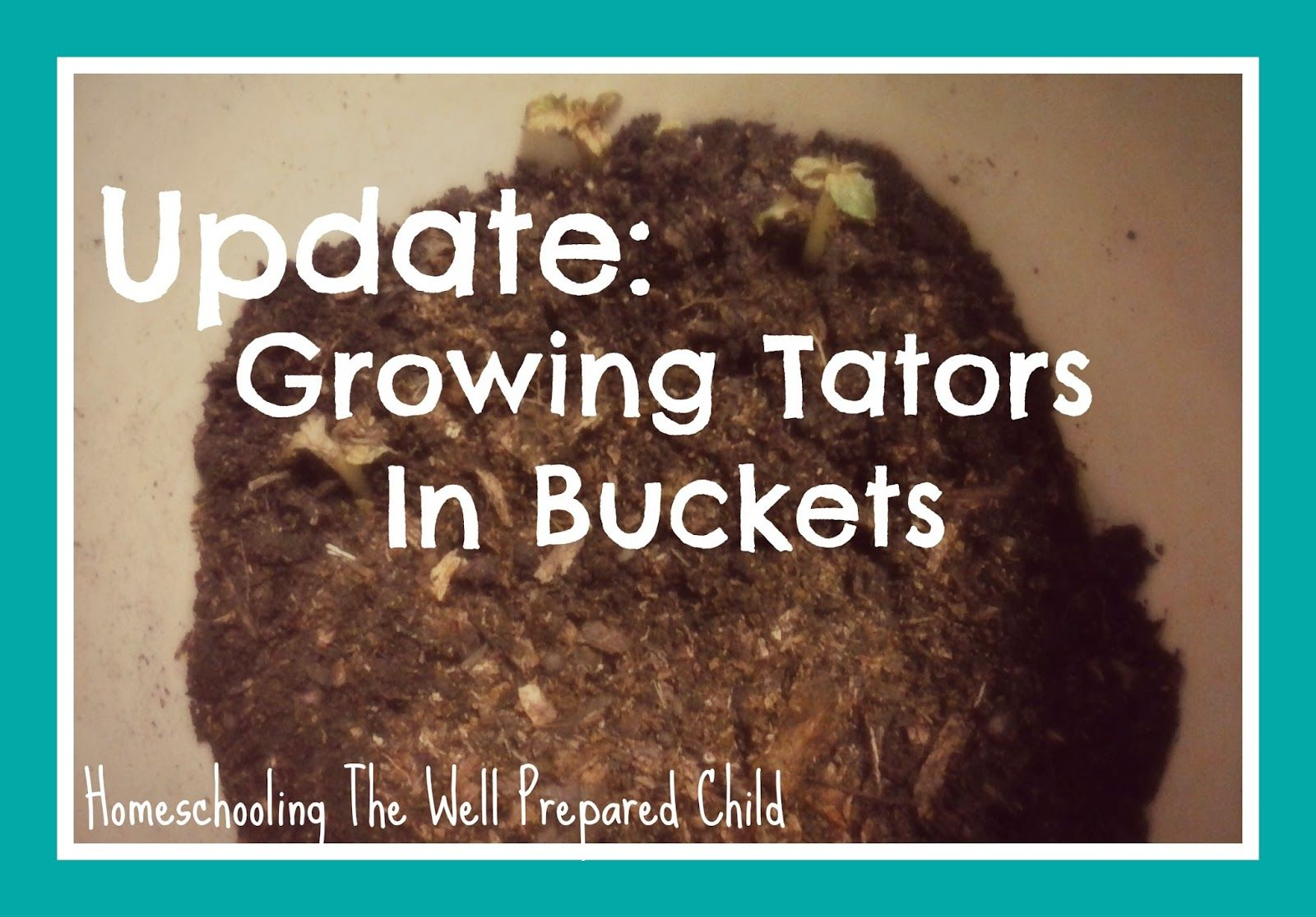 Homeschooling The Well Prepared Child: Update: Growing Tators In ...