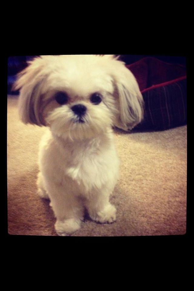 Yes I Am Just Too Cute Shih Tzu Shih Tzu Puppy Puppies Shih Tzu
