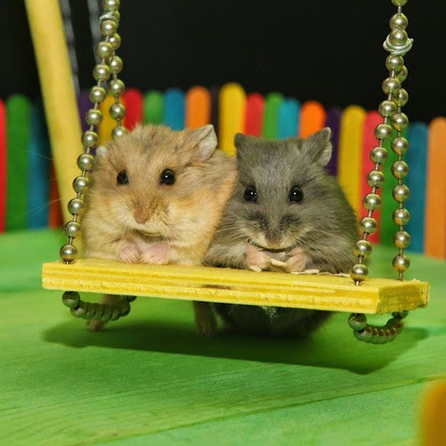 Two Tiny Hamsters Spend The Day Playing Together At A Tiny Memorial Playground Made Just For Them Hamster Cute Hamsters Cute Animals