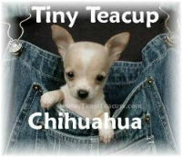Tiny Teacup Chihuahua Puppies Teacup Chihuahua Puppies Chihuahua Puppies Apple Head Chihuahua