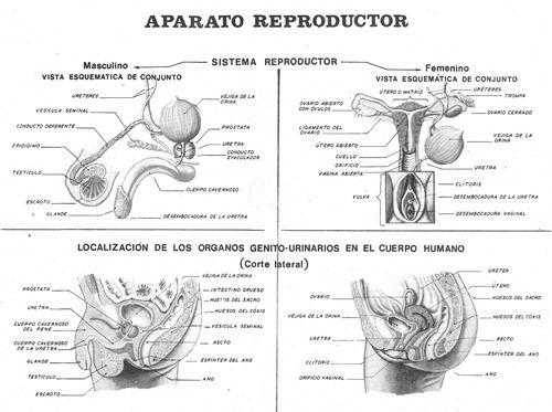 Aparatos Reproductores Ciencias De La Naturaleza Actividades Para Primaria Aparato Reproductor