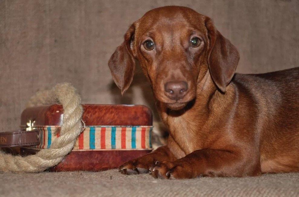 80 Funniest Dachshund Dog Names Dog names, Funny dachshund
