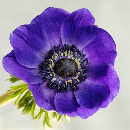 Flower Blue Anemone Purple Flowers Flower Images