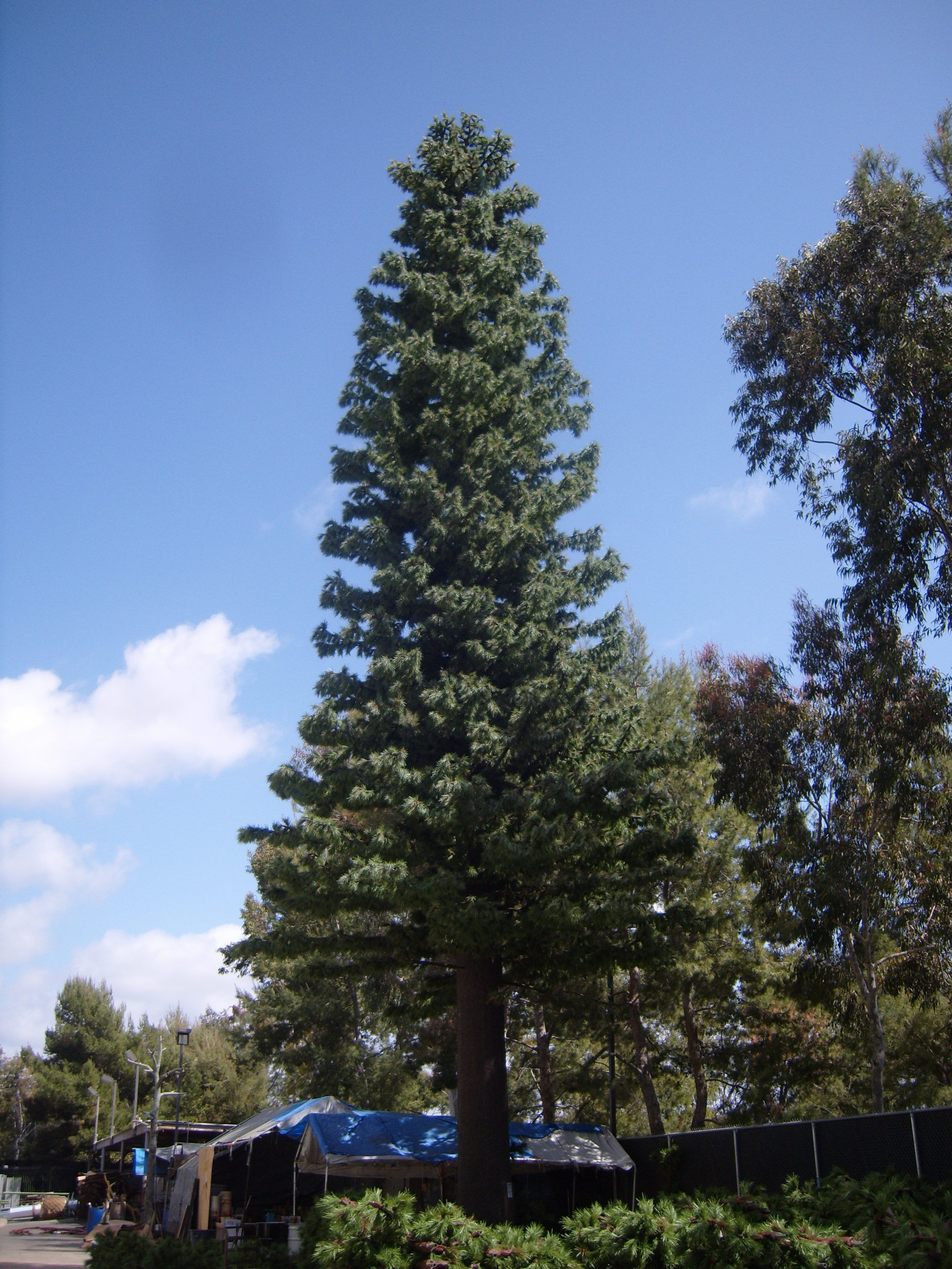 This is one of our Cell Tower Concealment Pine Trees newly