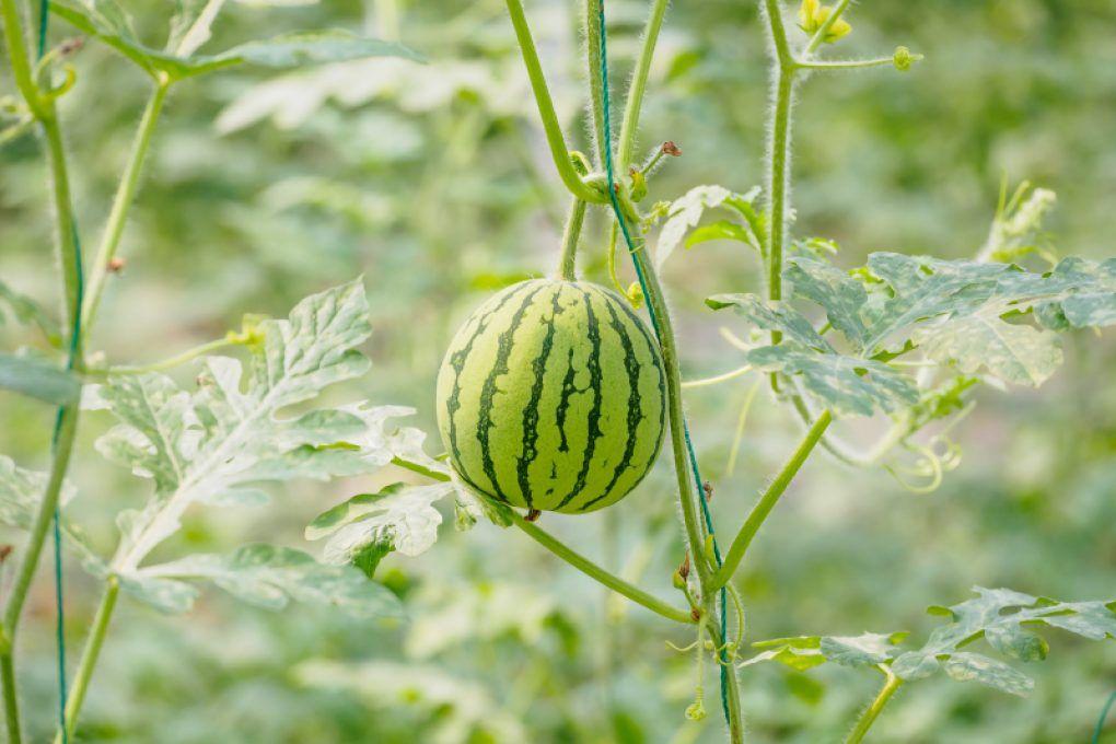 Wassermelone Pflanzen Kaufen : wassermelone pflanzen im topf wassermelone pflanzen pflanzen und wassermelonenpflanze ~ Watch28wear.com Haus und Dekorationen