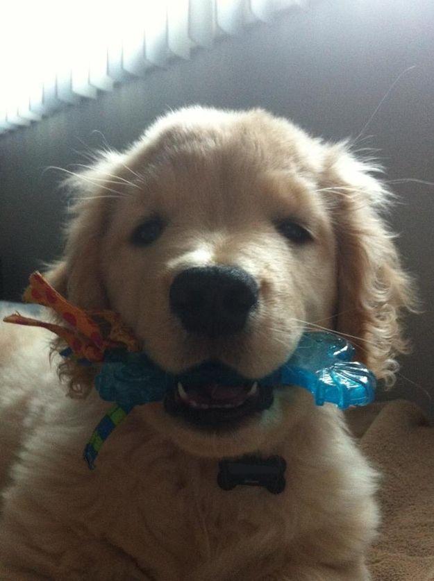 Ray Charles The Blind Golden Retriever Puppy Retriever Puppy