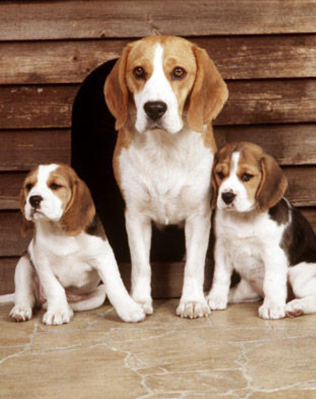 Beagle Family Beagle Family Cute Beagles Beagle Puppy