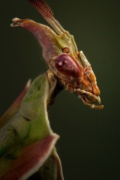 This alien-looking creature is known as a Devil's Flower Mantis or Idolomantis diabolica.