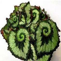 Details about US-50PCS unique 9 colors Begonia flo