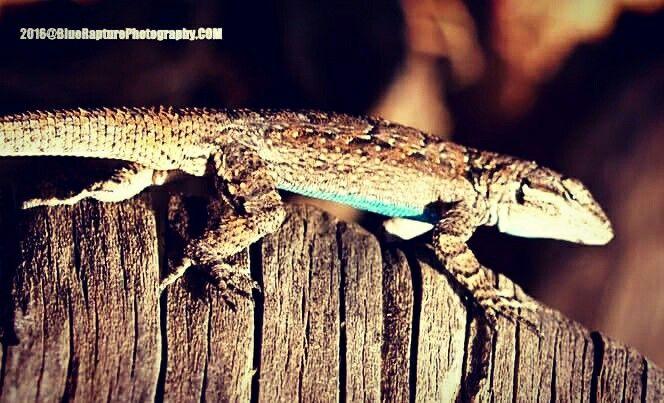 Lizard Lifestyles in Arizona.  www.bluerapturephotography.com