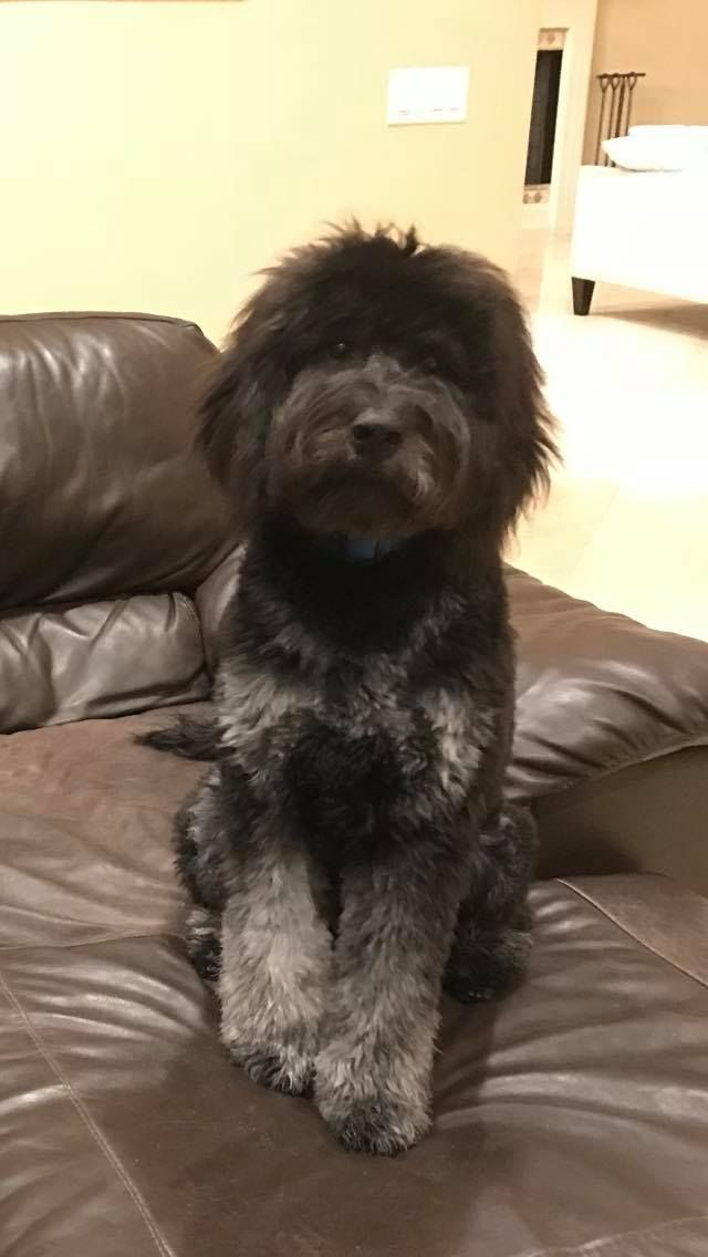 Teddy the Phantom English Goldendoodle from Moss Creek