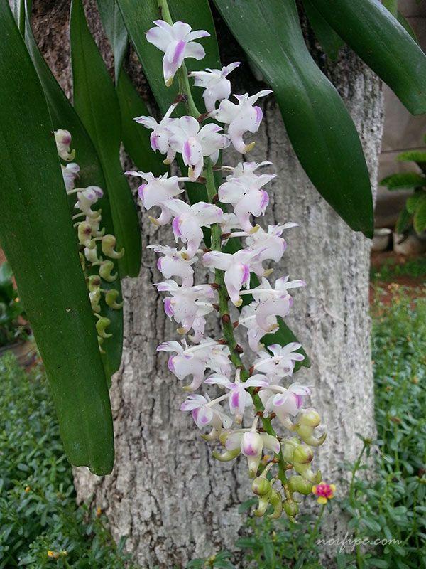 La Orquídea de Chocolate o Encyclia phoenicia | Orquídeas ...