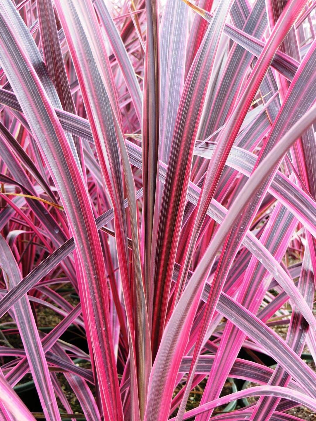 Cordyline Electric Pink Boething Treeland Farms Architectural Plants Pink Grass Planting Flowers