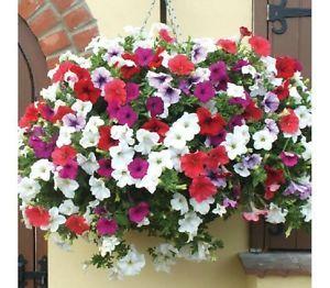 Details About 1200 Seeds Garden Petunia Mix Flower Bonsai Uk Seler Petunia Flower Flower Seeds Beautiful Flowers Garden