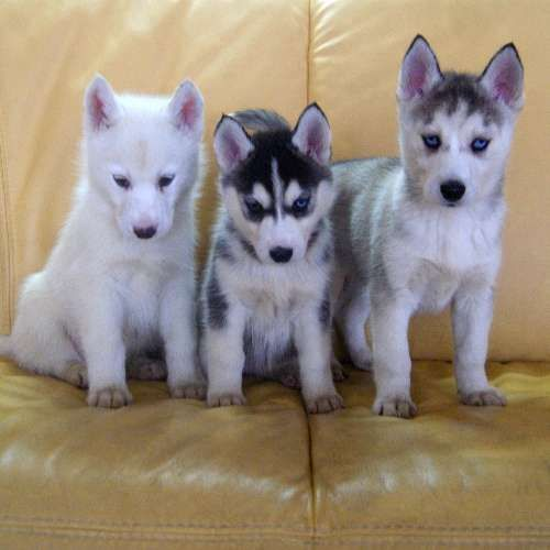 Siberian Husky Puppy For Sale Sydney Breed Siberian Husky Price