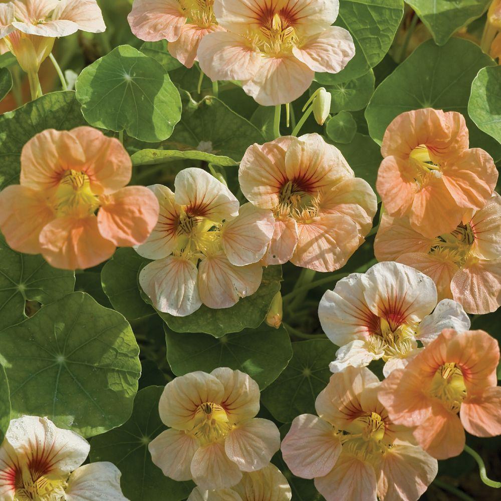 Buy culinary herbs plants nasturtium plants - Nasturtium Minus Just Peachy Half Hardy Annual Seeds Thompson