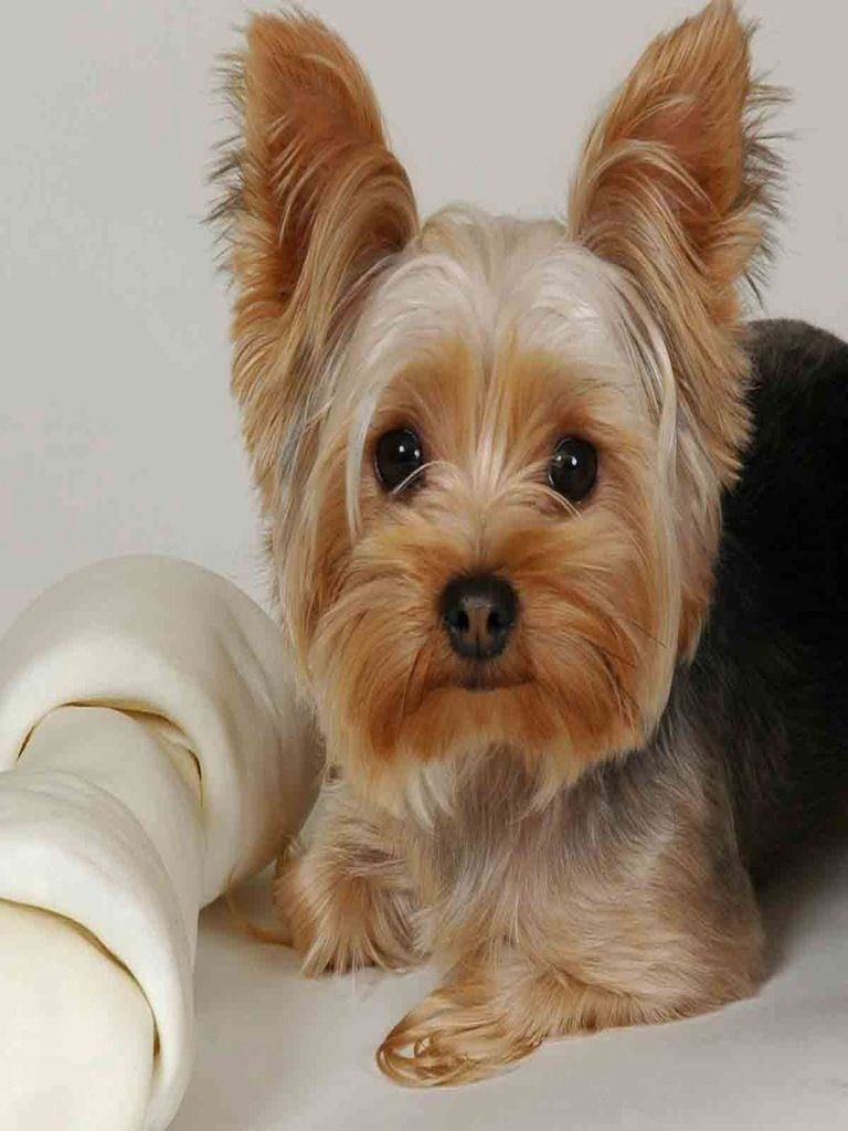 Pin by Yaegerdog Woody on Pets Yorkie terrier, Yorkshire
