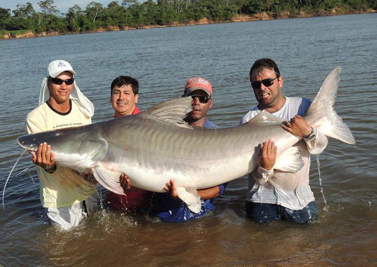 Piraiba catfish catfishes brazil amazon parana negro world for Large freshwater fish