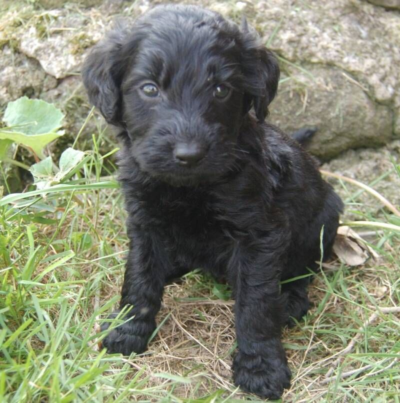 black goldendoodle puppies Google Search Cute golden