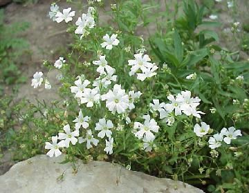 Annual Baby S Breath Seed For Sale 1 00 Pack Gypsophila Elegans Gypsophila Elegans Gypsophila Babys Breath